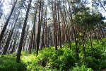scent-of-pine-trees-affects-climate-changes-zenmoon-org
