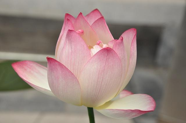 Lotus The Transcendental Bloom From Karma Into Enlightenment And