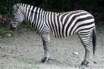 why-do-zebras-have-stipes-zenmoon-org